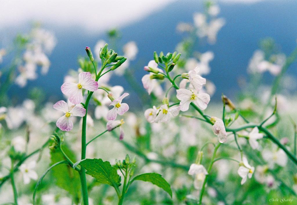 Mộc Châu mùa hoa cải trắng tinh khôi