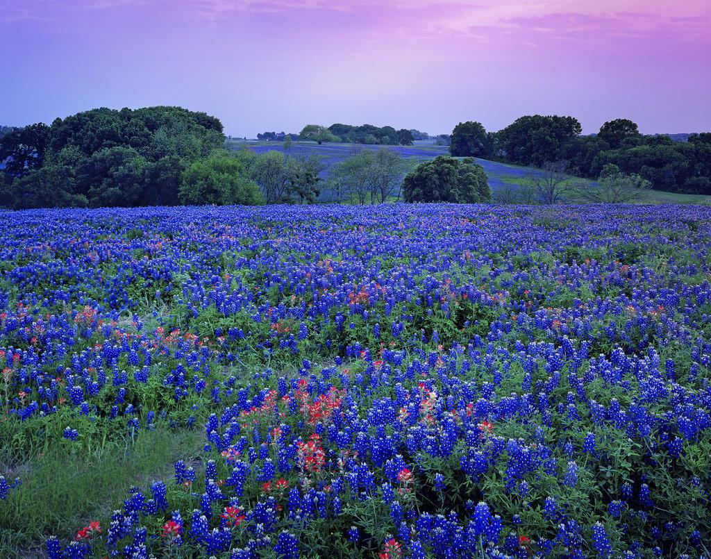 9. Hoa Bluebonnets ở thành phố Willow, Texas