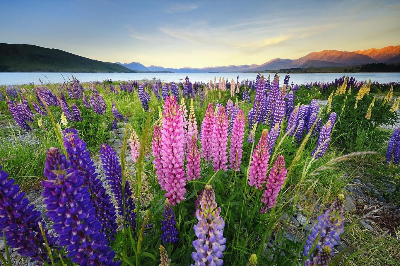Địa điểm nổi tiếng để ngắm hoa lupine.