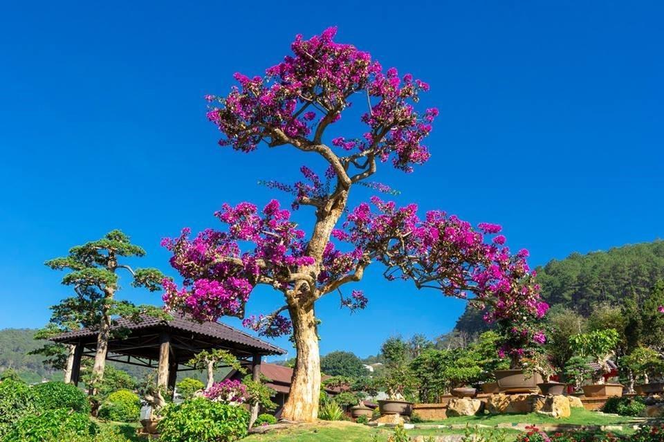 """""""Ngôi nhà"""" của bonsai lá kim"""