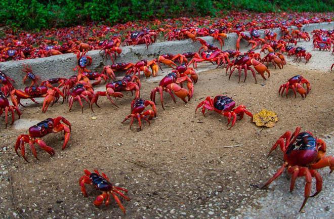 """Kết quả hình ảnh cho Úc: Hàng nghìn con cua """"nhuộm"""" đỏ đường phố trên đảo Christmas"""