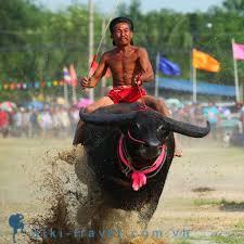 Thú vị những màn đua trâu nghẹt thở tại Thái Lan